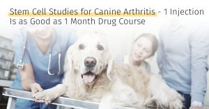 canine arthritis one injection is as good as one month drug course stem cell therapy