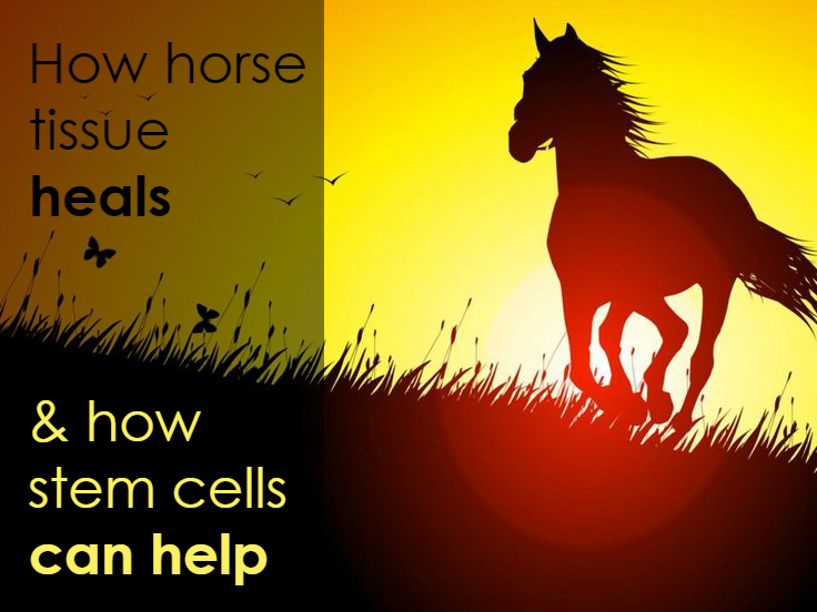 Horse tissue healing with stem cell therapy