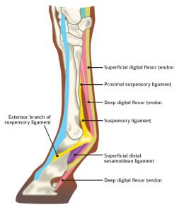 Equine tendon and ligament injury treatment