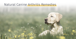 Natural Canine Arthritis Remedies Oils and treatment options