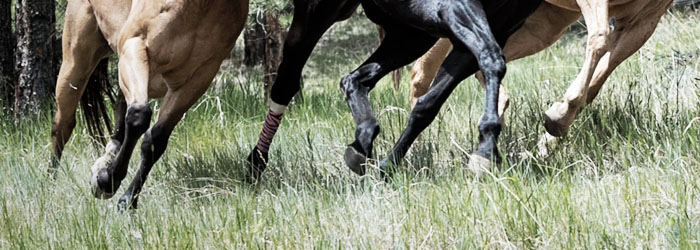 horse, mild laminitis symptoms and treatment, ,medrego, equine stem cell treatment