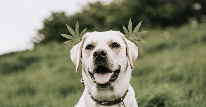 Dog CBD oil benefits, canine stem cell therapy, medrego, dog arthritis