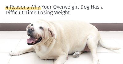 overweight dog has a difficult time losing weight 4 reasons why, medrego, canine stem cell therapy, dog arthritis