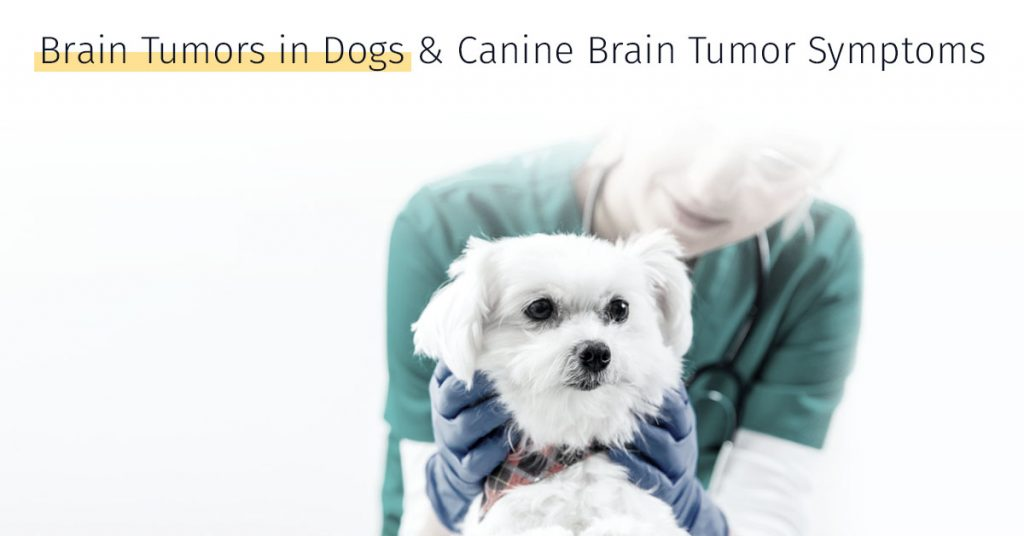 brain tumors in dogs, canine brain tumor symptoms, dog stem cell treatment medrego