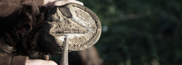 horse hoof care eradicate bits and pieces stuck in hooves medrego equine stem cell therapy