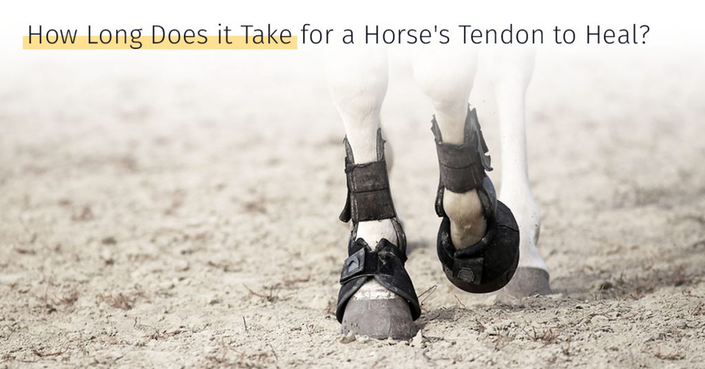 how long does it take for a horses tendon to heal stem cell therapy