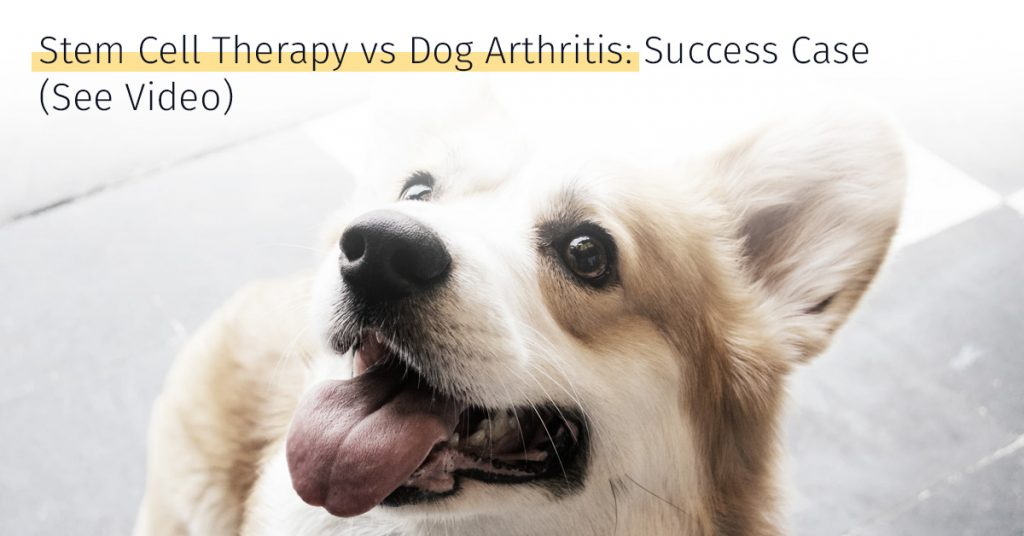 corgi arthritis stem cell therapy medrego canicell success case