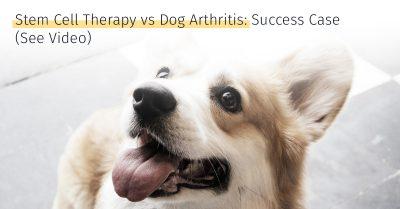 corgi arthritis stem cell therapy medrego canicell success case