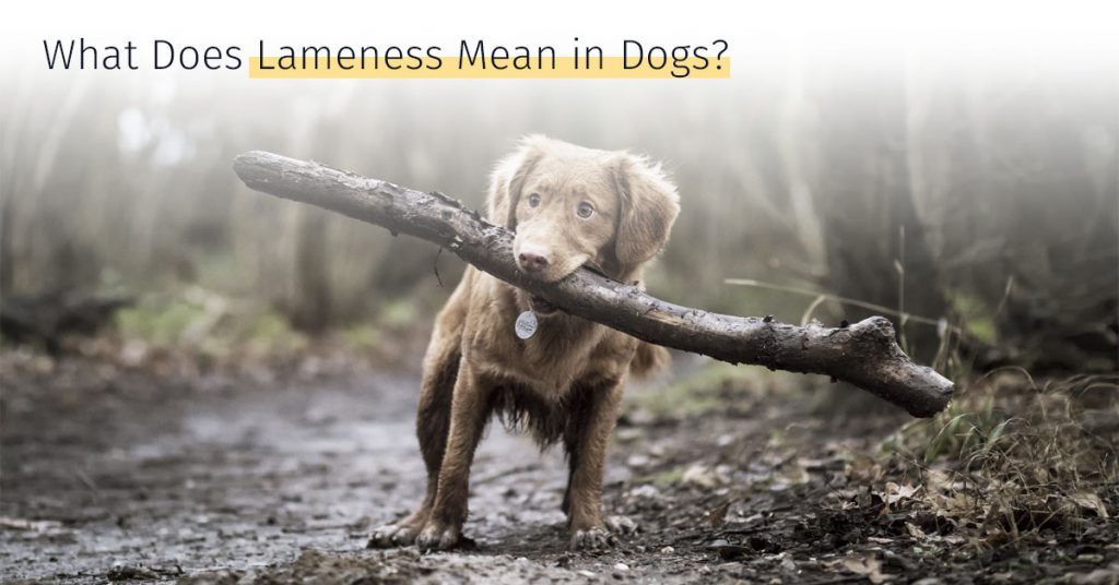 lameness in dogs, what lameness mean medrego stem cell therapy