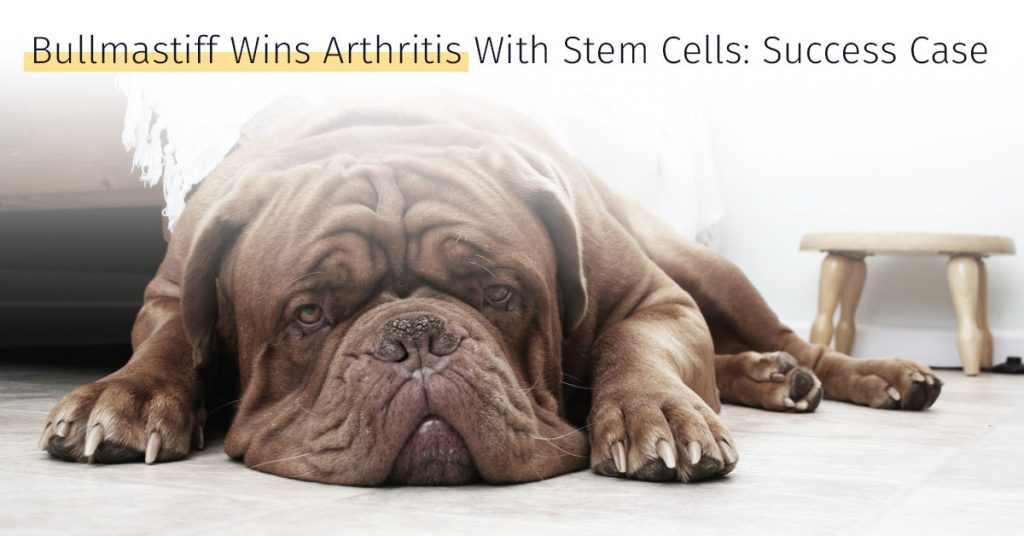Bullmastiff wins arthritis with stem cells success case Medrego