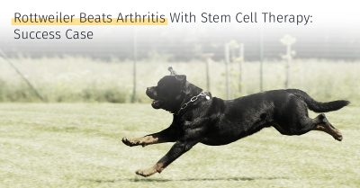 rottweiler arthritis success case stem cell therapy