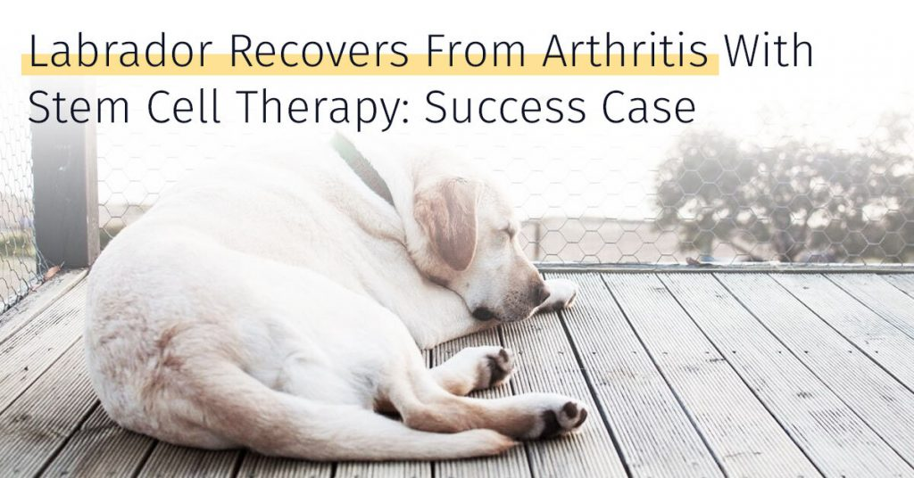 Labrador arthritis success case stem cell therapy