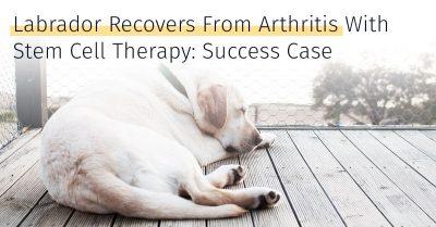 Labrador arthritis success case stem cell therapy