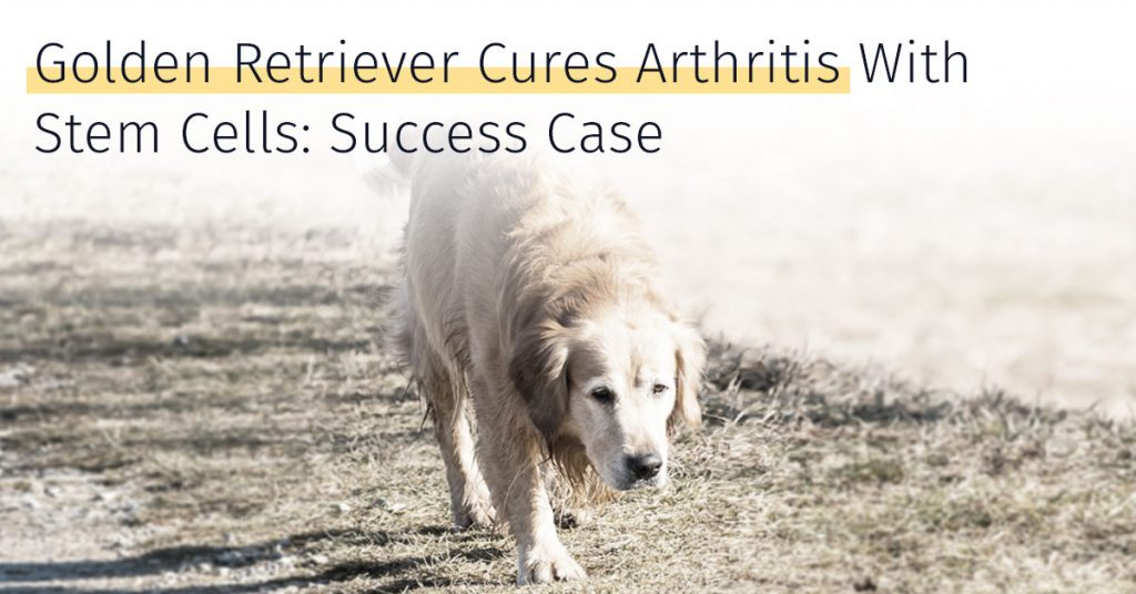 golden retriever cures arthritis with stem cells success case