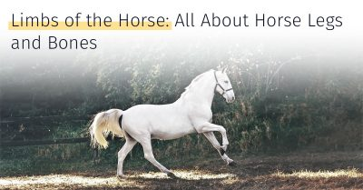 all about horse legs and bones, horse limbs