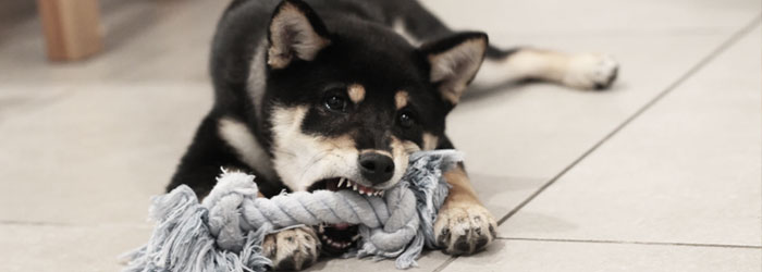 bad breath in puppy chewing toys