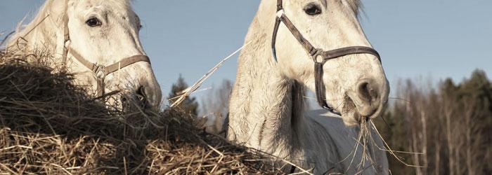 feeding horse hay