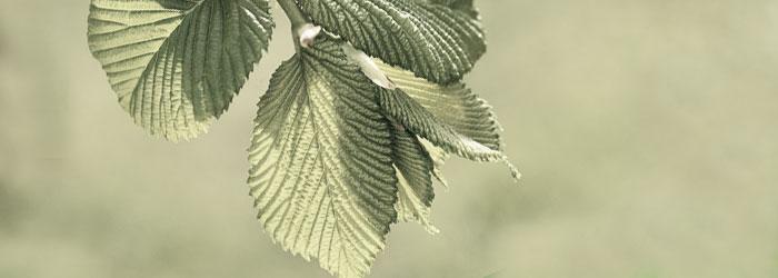 slippery elm for horse ulcers
