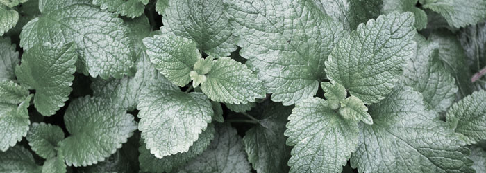 peppermint for horse ulcers
