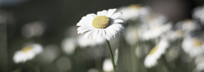 Chamomile for horse ulcers